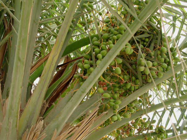 Benefits Of Dates Fruit For Your Health